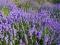 Lavandas ziedūdens (Lavender - Lavandula angustifolia)